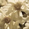 Star Magnolia Blossoms