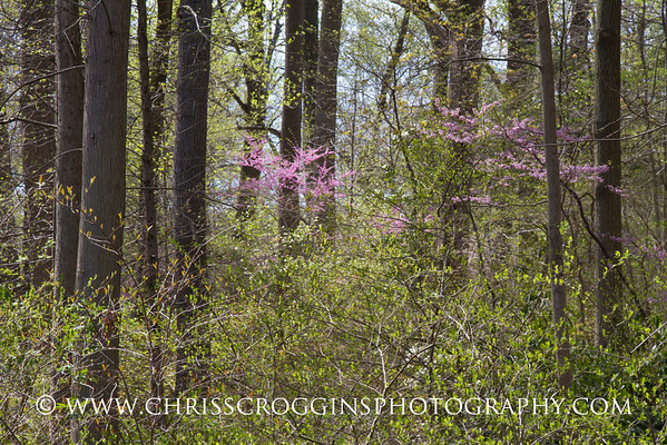 Redbuds in Forest