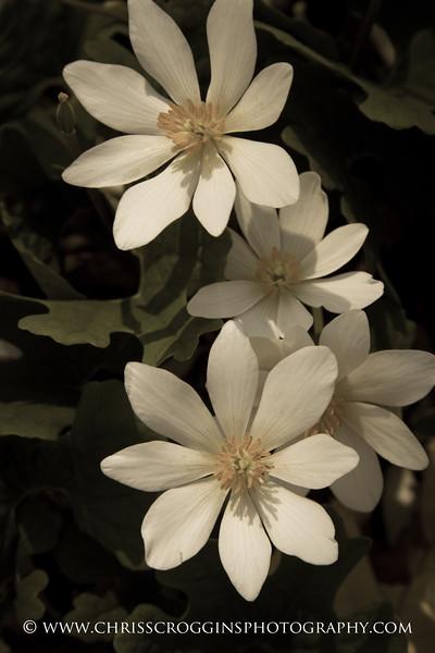 Bloodroot Wildflowers