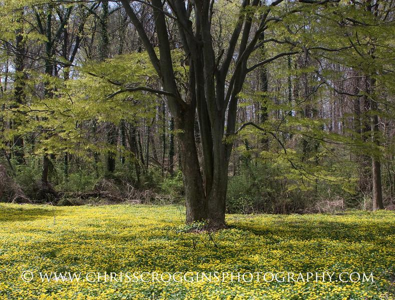 Celendine Flowers