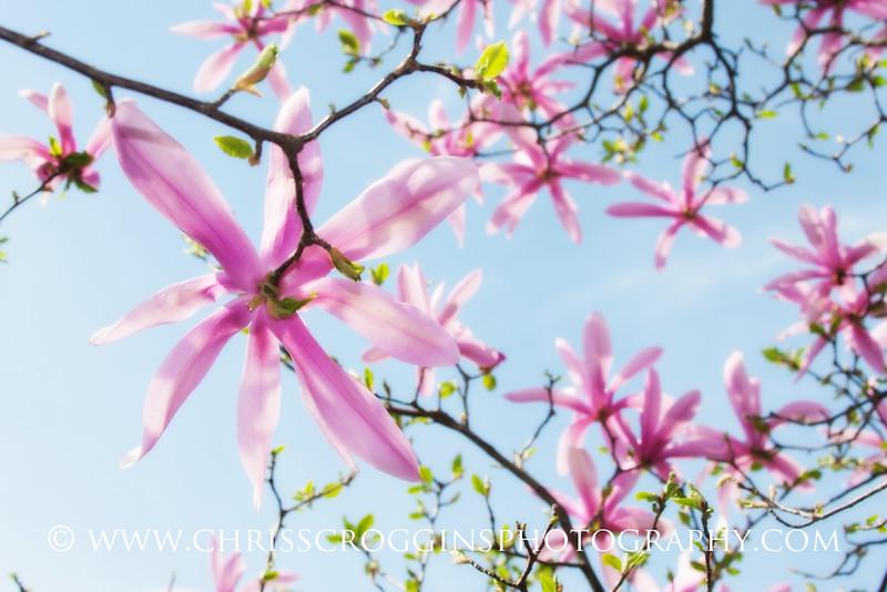 Star Magnolia 1