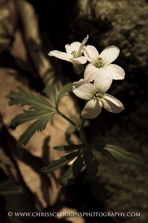 Cutleaf Toothwort Wildflowers