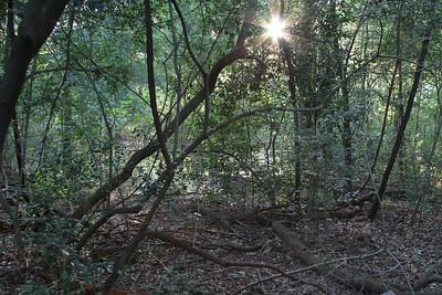 Edith L Moore Nature Sanctuary:  Typical undergrowth of predominantly Ilex vomitoria / decidua with bare woodland floor.