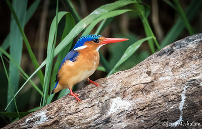 Malachite Kingfisher - Uganda