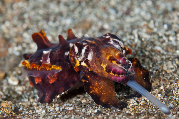 Flambuoyant Cuttlefish hunting for food in the sand.