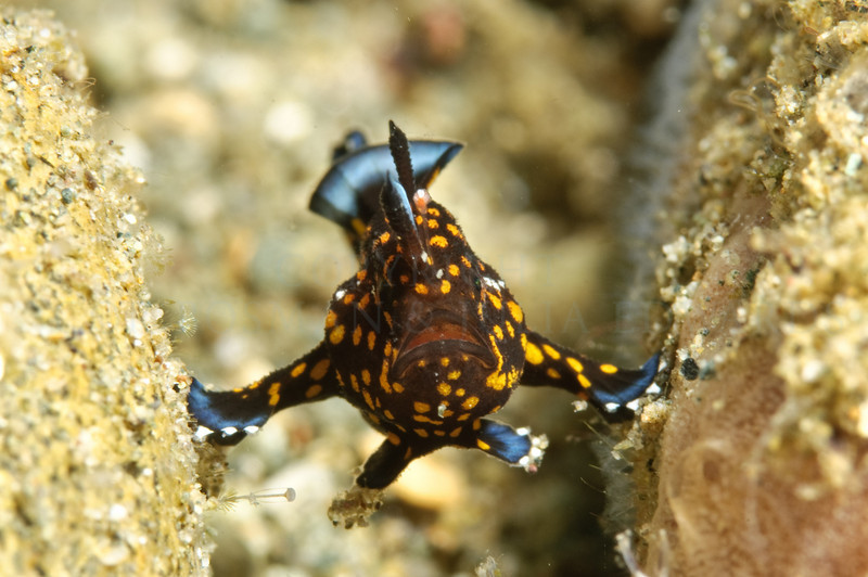 Baby frogfish perched itself between two small pebbles