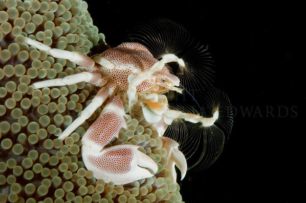 Porcelain crab feeding on plankton from his home on the edge of an anemone