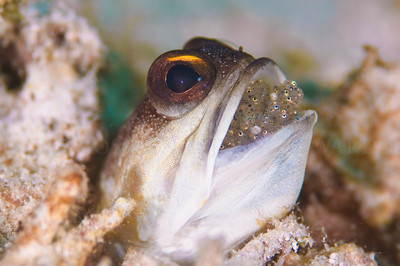 Jawfish with a brood of eggs in his mouth
