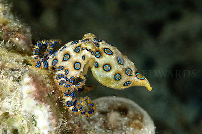 Deadly blue ringed octopus hunting on the reef.