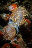 Hermissenda Crassicornis Nudibranch Pair