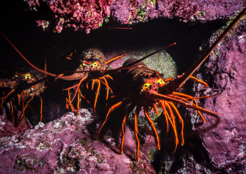 California spiny lobsters hide in a hole
