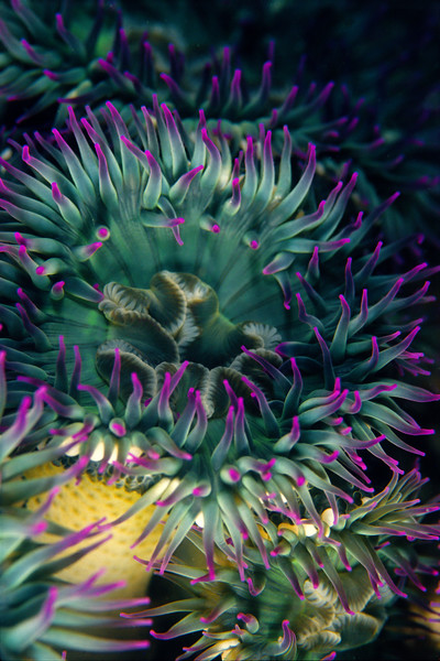 Pink-Tipped Green Anemone