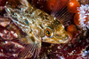 Juvenile rockfish among strawberry anemones