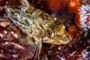 Juvenile rockfish among strawberry anemones