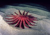 Sunflower star in sand