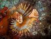 Orange feather duster (Serpulid) tube worm