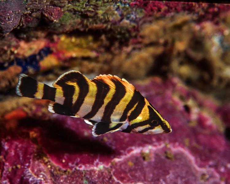 Juvenile treefish hiding on the reef