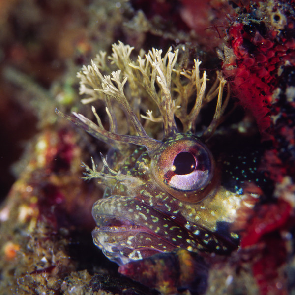 Yellowfin fringehead
