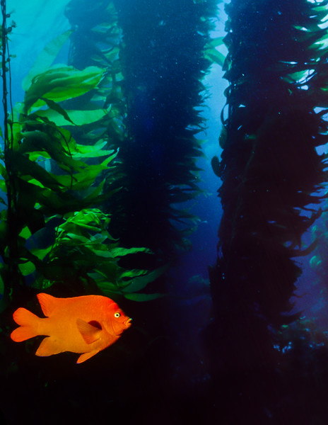 A Garibaldi patrols his little part of the kelp forest