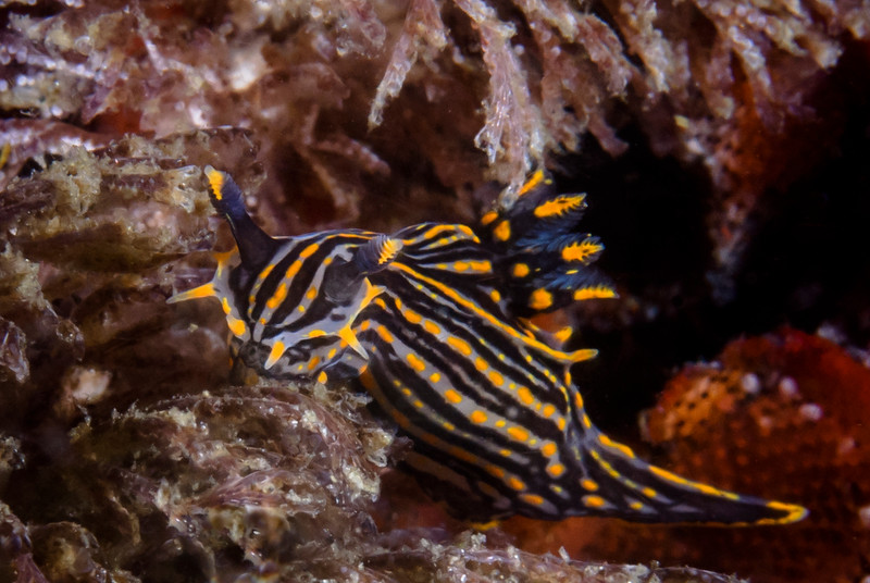 Black Dorid (Polysera atra) Nudibranch