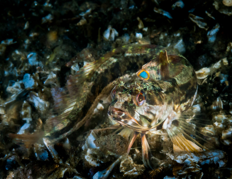 Onespot Fringehead in the open