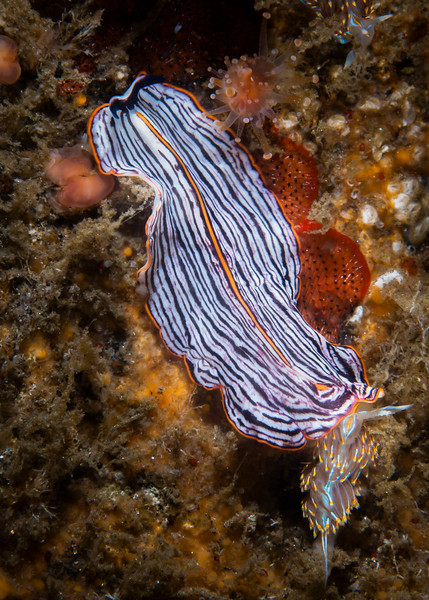 Polyclad Flatworm crawls over a small Hermissenda Crassicornis Nudibranch