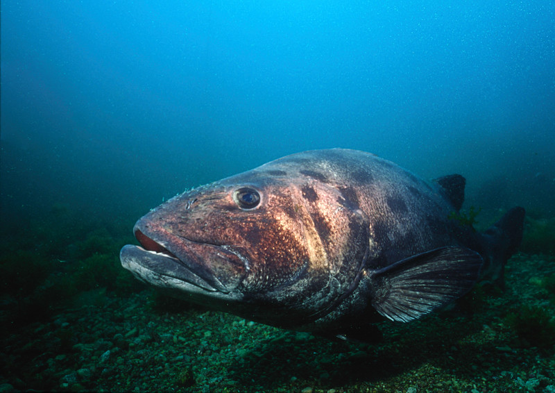 Giant Sea Bass comes to investigate