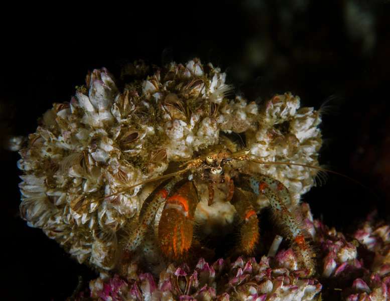 Hermit Crab with a coat of live barnacles