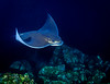 A Bat Ray glides by