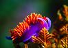Spanish Shawl Nudibranch