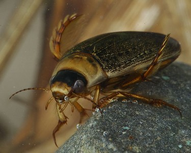 Diving Beetle from the frog pond.