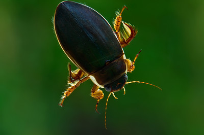 Giant Diving Beetle, Vancouver Island.