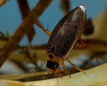 Diving Beetles can be found in ponds winter and summer, they will start getting active in March.