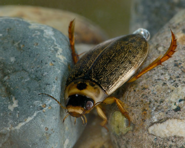 Small Diving Beetle, Black Creek.