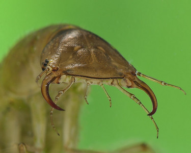 Water Tiger. Water Tigers are the larva of the predatory diving beetles.