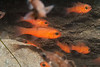 Cardinalfish in a small cave in the walls at La Jolla Shores.  La Jolla, California, USA.<br /> Perhaps Pink Cardinalfish, Apogon pacificus
