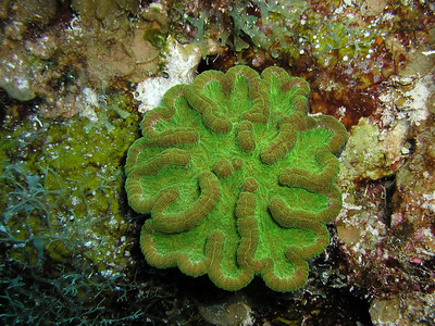Green Cactus Coral