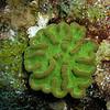 Green Cactus Coral