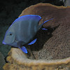Blue Tang in striped pajamas