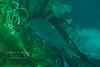 An opaleye (Girella nigricans) in the kelp off La Jolla Cove.  La Jolla, California, USA