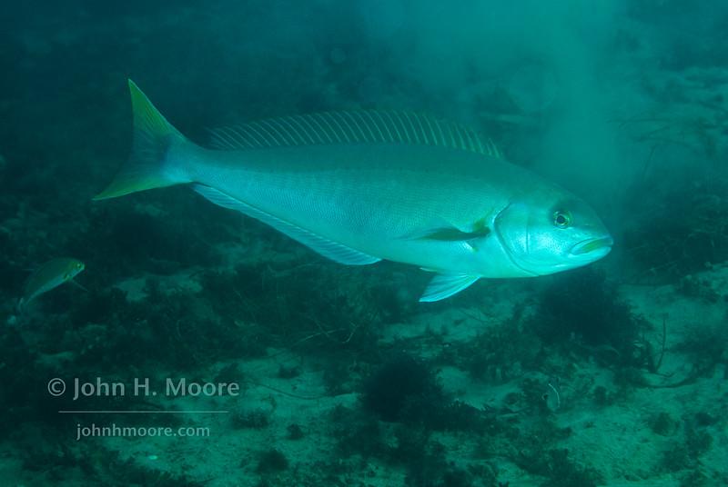 Ocean Whitefish (Caulolatilus princeps).  La Jolla Submarine Canyon, La Jolla, California, USA.
