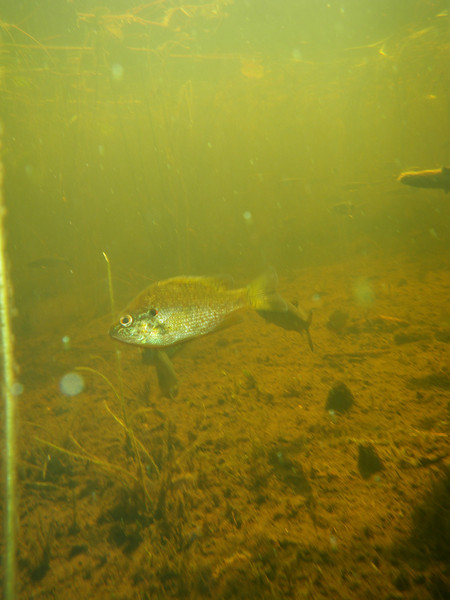 Sunfish in my lake (camera dangling at the end of a fishing line!)