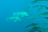 Two Kelp Rockfish (Sebastes atrovirens) hang near a stand of giant kelp off La Jolla Cove.  La Jolla, California, USA.