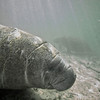 West Indian Manatee (Trichechus manatus)<br /> Crystal River, Florida, USA<br /> IUCN Status: Vulnerable (trend: decreasing)