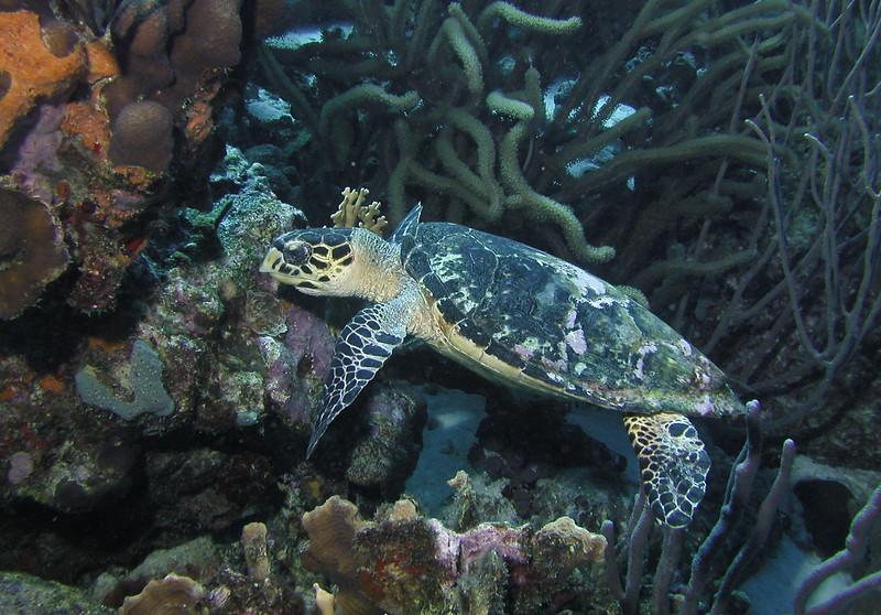 Hawks Bill Turtle