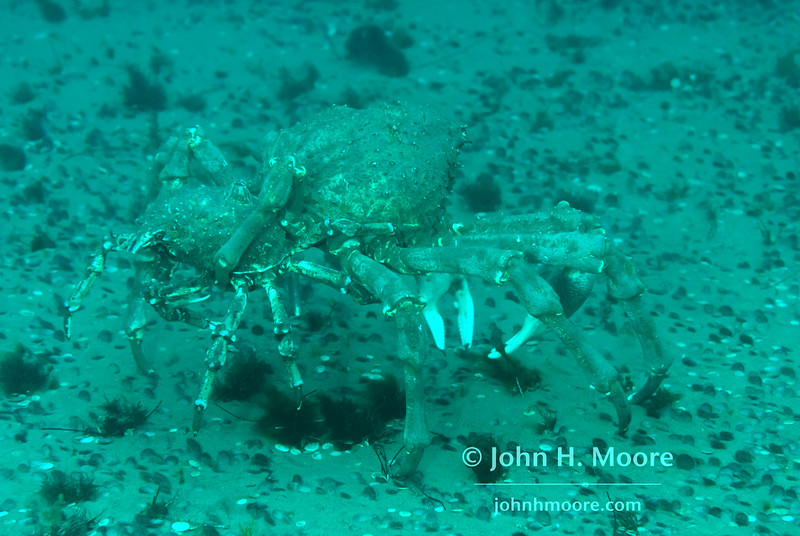 Mating sheep crabs (Loxorhynchus grandis) in the La Jolla Submarine Canyon.  La Jolla, California, USA.