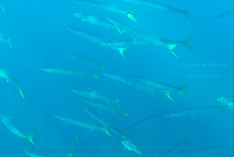 A school of Pacific Barracuda (Sphyraena argentea) swims in 20 feet of water off La Jolla Cove.  La Jolla, California, USA.