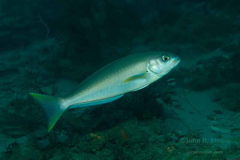 An Ocean Whitefish (Caulolatilus princeps) in the La Jolla Submarine Canyon.  La Jolla, California, USA.