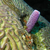 Tube Sponge on Brain Coral