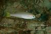 Juvenile ocean whitefish (Caulolatilus princeps).  La Jolla Submarine Canyon.  La Jolla, California, USA.